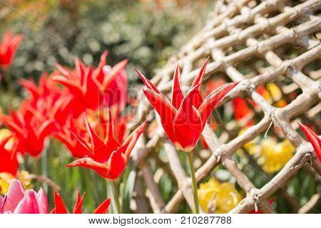 Tulips Bloom In The Spring Season