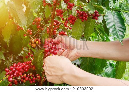 Cherry coffee beans hands harvesting , arabica coffee berries harvesting