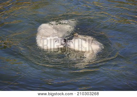Polar bear swimming with his cub on the water. Wildlife