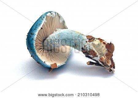 stropharia caerulea mushroom isolated on white background blue roundhead