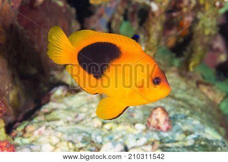 Red Saddleback Anemonefish (amphiprion Ephippium)