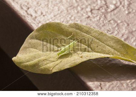 It is image of drumming katydid on a leaf