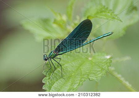 It is image of  beautiful demoiselle on a leaf