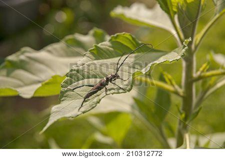 It is image of musk beetle on a leaf