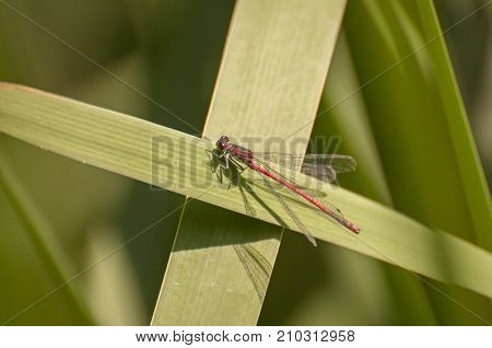 It is image of large red damselfly