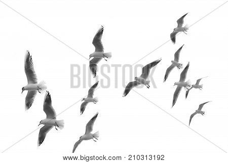Flying seagulls (isolated) on white background. seagulls.
