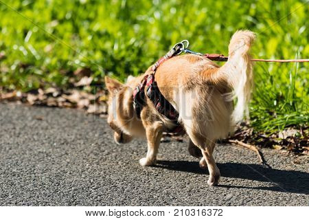 Small Cute Chihuahua On A Walk On A Lead