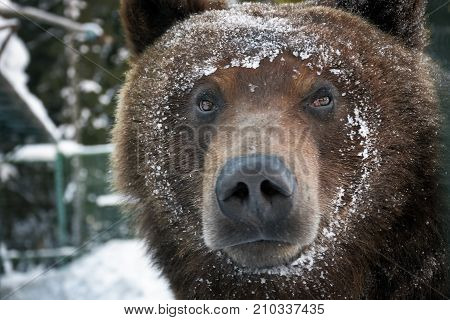 Muzzle Of A Brown Bear In Snow