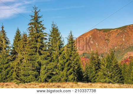 Spruce Forest At The Foot Of A Mountain Ridge