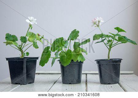 White pelargonium flower, geranium, known as storksbills