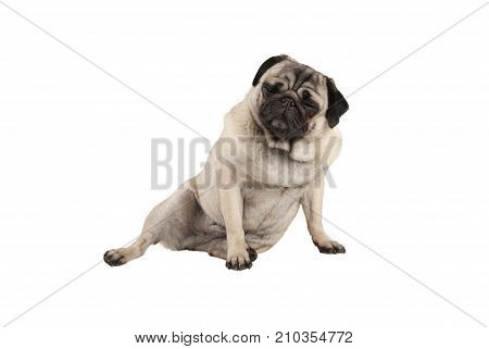 funny cool cocky pug puppy dog sitting down with funny facial expression isolated on white background