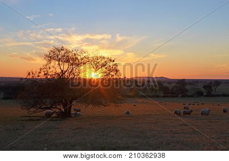 Rural sunset landscape scene with sheep on farmland between the towns of Grenfell and Young in the NSW countryside, Australia