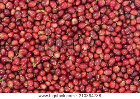 Red Coffee Beans Ripening in bamboo basket containing, picked red ripen arabica coffee berries cherries and ready for washing use us background.