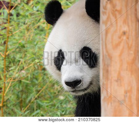 Giant panda bear sticking out his tongue