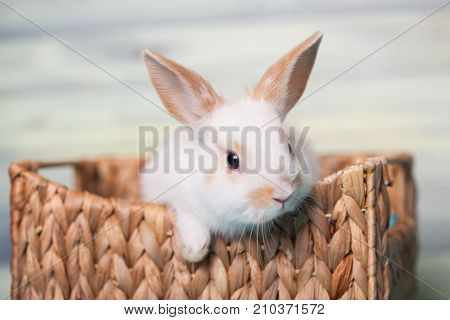 Cute baby bunny looking inquisitive from the basket