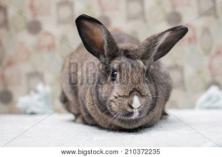 Adorable brown bunny with huge ears gazing curiously in a camera poster