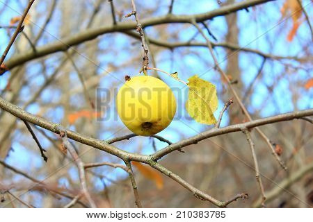 Last Apple on the branch. A lonely Apple hanging on a branch in autumn. Yellow Apple on a background of blue sky. Apple in the cold