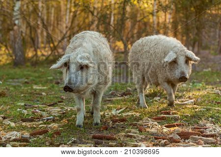 Mangalica a Hungarian breed of domestic pig in piggery