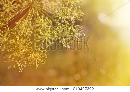 close-up of an umbel of garden angelica. angelica flower