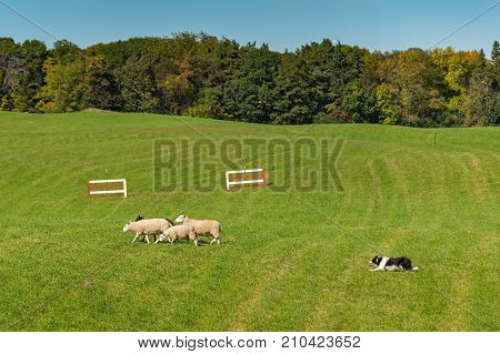 Sheep Dog Herds Sheep (Ovis aries) Left in Field - sheep dog herding trials