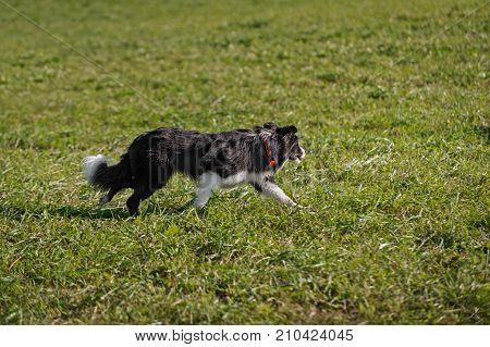 Sheep Dog Starts Run Out - sheep dog herding trials