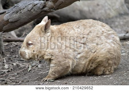 this is a side view of a hairy nosed wombat