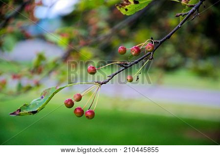 Small crab apples decorate the frail limb of a late fall tree
