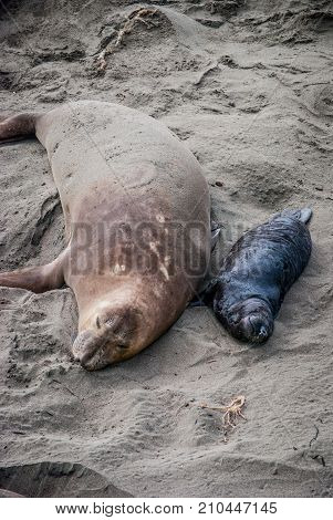 Mother elephant seal with her pup taking a nap on the beach in San Simeon California.