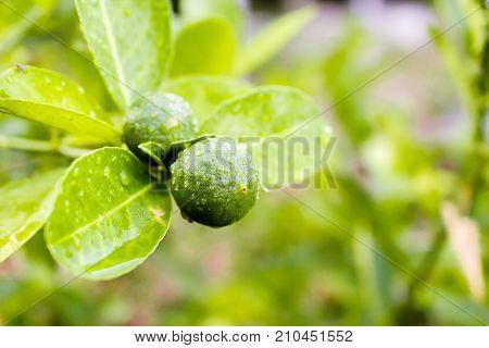 Fresh lemon tree with water drops in garden.