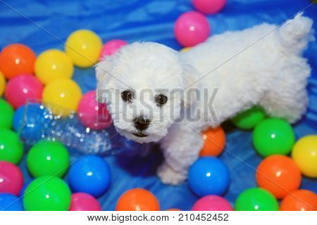 Bichon Frise. 9 week old pure breed female Bichon Frise Puppy. Dog playing in Colorful ball pit or toy box.