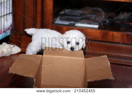 Bichon Frise. 9 week old pure breed female Bichon Frise Puppy. Puppy chews on and plays with her favorite cardboard box.
