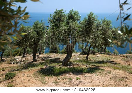 Olive trees hill in Greece, Thassos