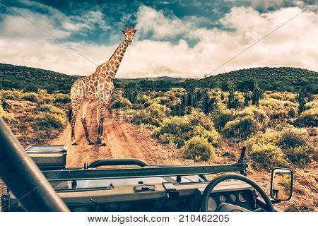 Wildlife african safari, beautiful wild giraffe, great animal in natural habitat, summer vacation in savannah, eco travel and tourism, South Africa