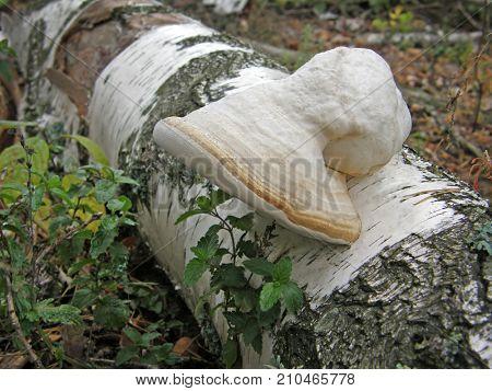 mushroom Fomes fomentarius. Very beautiful image