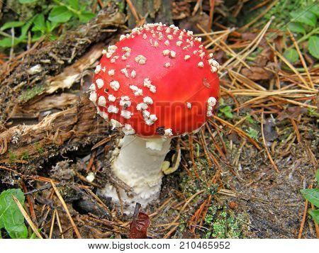 Mushroom amanita. Very beautiful image