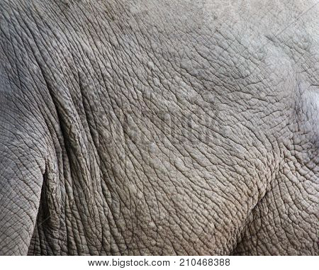 Texture of elephant skin (Elephas maximus). Close-up photo
