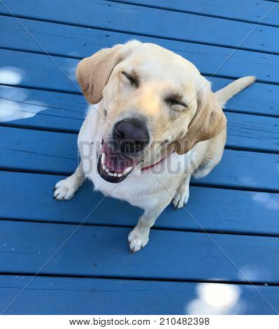 Annie, yellow lab, smiling and ready to eat