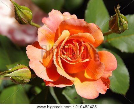 Beautiful orange late season rose with 3 buds encircling,