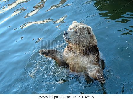 The brown bear bathes in water in the Riga zoo poster