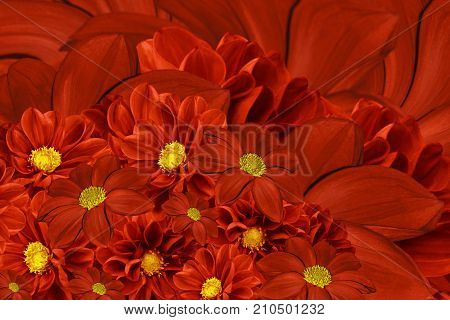 Floral red background of flowers of dahlia. Bright flower arrangement. A bouquet of red dahlias. Nature.