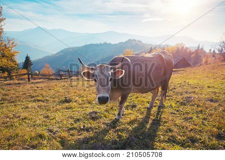 Close shoot of cow standing in the mountain pasture in Switzerland.