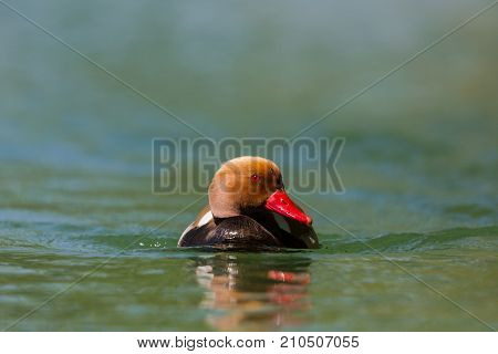 Male Red Crested Pochard (netta Rufina) Swimming In Green Water