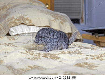 Standard gray baby pet Chinchilla on human bed.