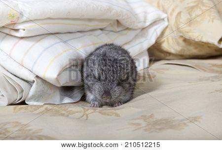 Standard gray baby pet Chinchilla taking a nap.