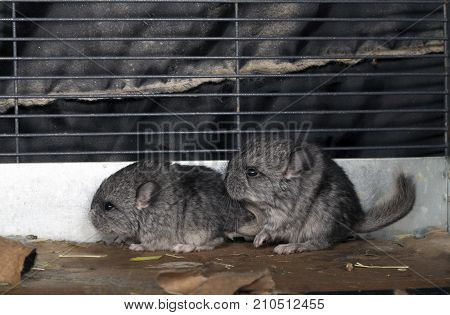 Two standard gray baby pet Chinchillas in cage.