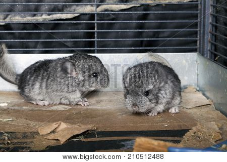 Some Baby pet Chinchillas in a cage.