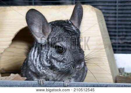 A standard gray pet Chinchilla in cage.