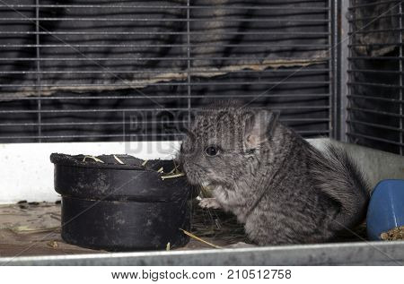 A Baby pet Chinchilla in a cage.