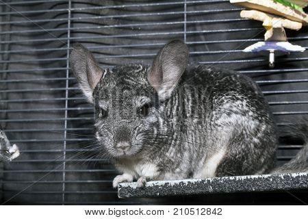 A domestic pet Chinchilla in a cage.