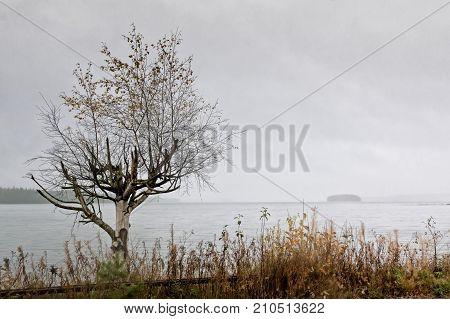 Birch Tree And An Island